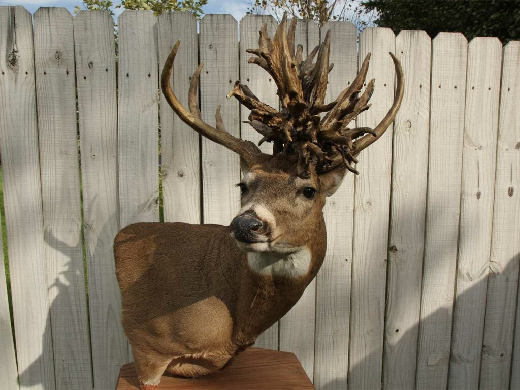 A whitetail buck mount with a large whitetail nontypical spread.