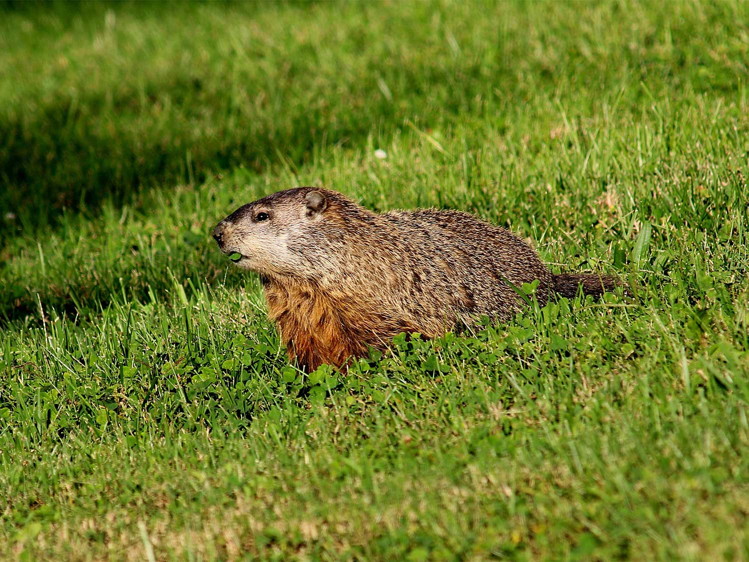 A groundhog walking through a field of grass.