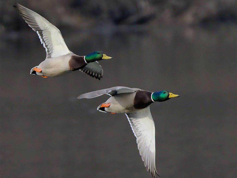 Two green-headed mallard ducks in flight.