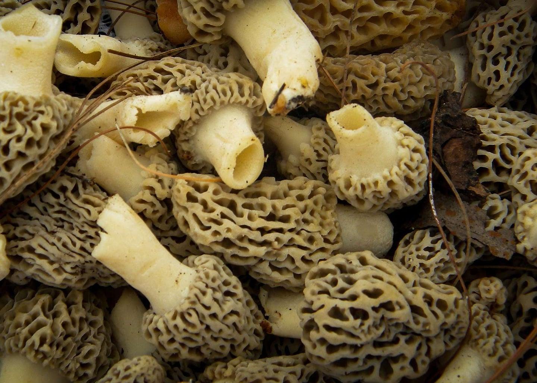 A bundle of morel mushrooms.