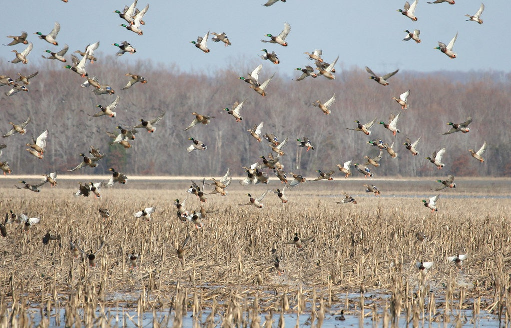 A flock of mallards fly above a lake.