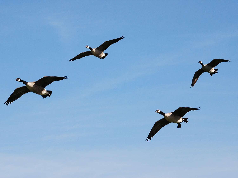 Four late-season Canada geese approach the decoys.