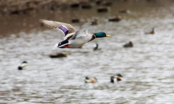 Biden Administration Delays Rollback of Migratory Bird Protections