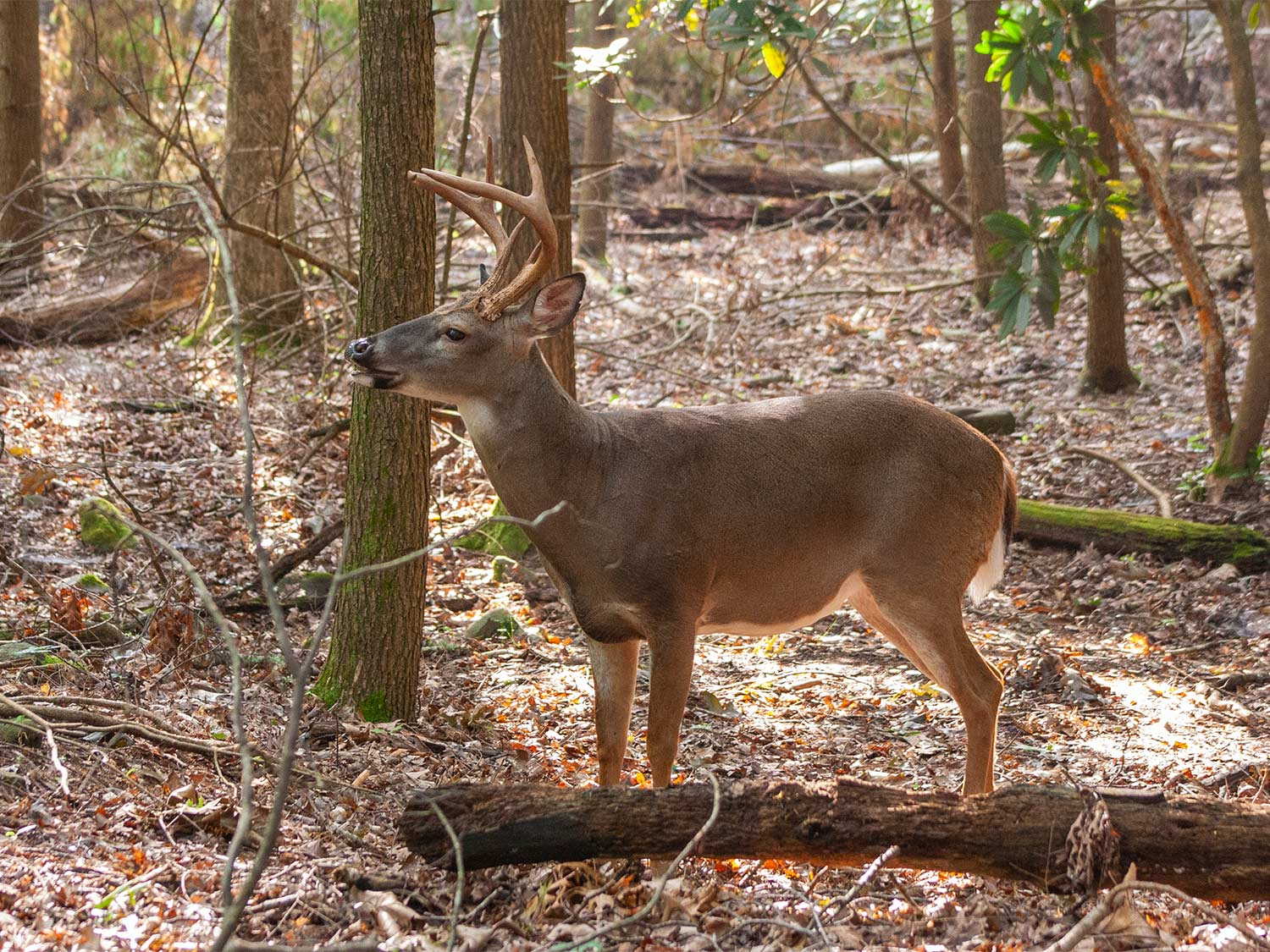 A whitetail buck walks through a clearing in the woods.
