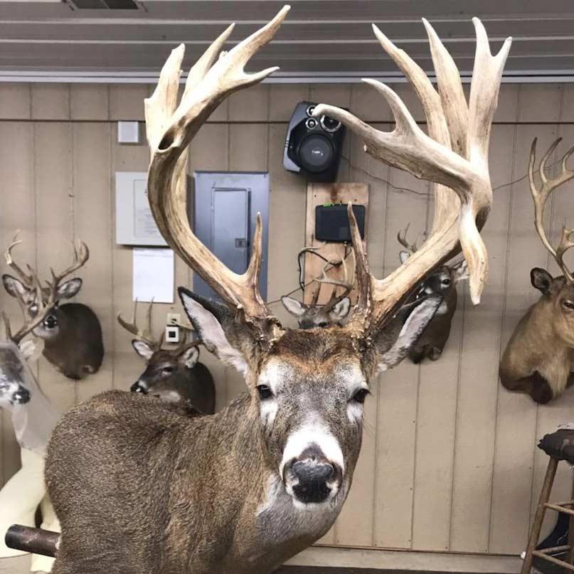 A trophy buck in a taxidermy office.