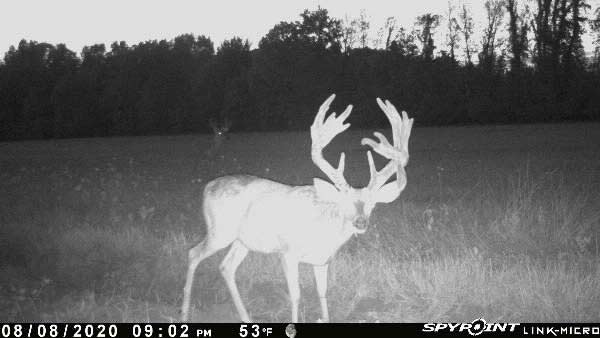 A whitetail buck caught on trail camera footage.