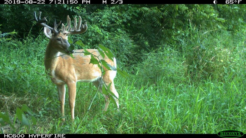 A trail camera image of a buck in tall grass.