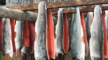 Salmon fillets hanging on sticks in Alaska.