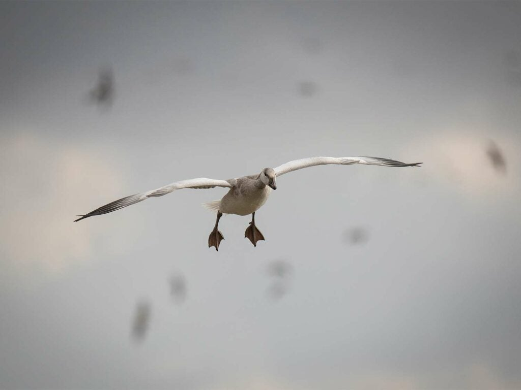 A juvenile snow goose flying through the air.