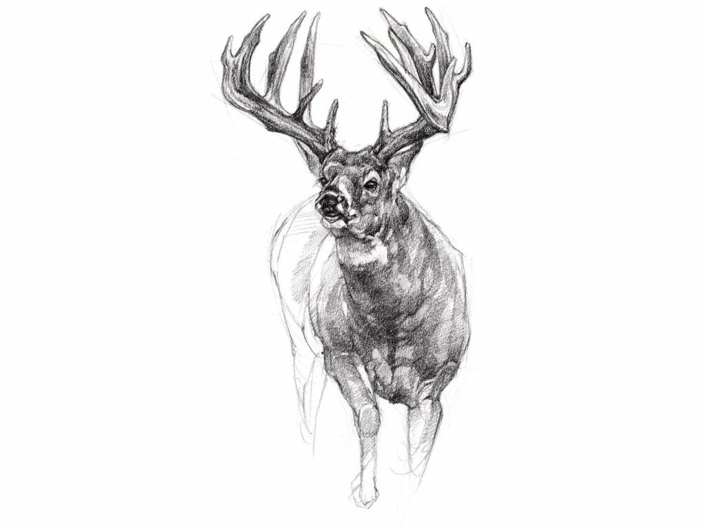 A pencil illustration of a whitetail deer.