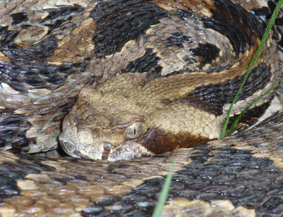 Timber rattlesnakes are among the most venomous snake species in the world.