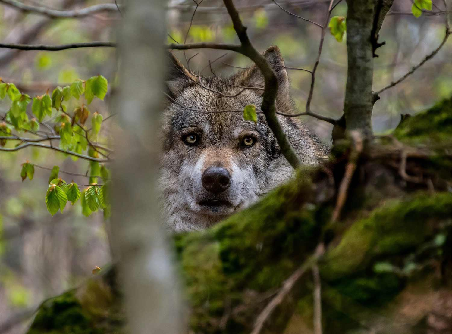 A wolf obscured by trees and brush.