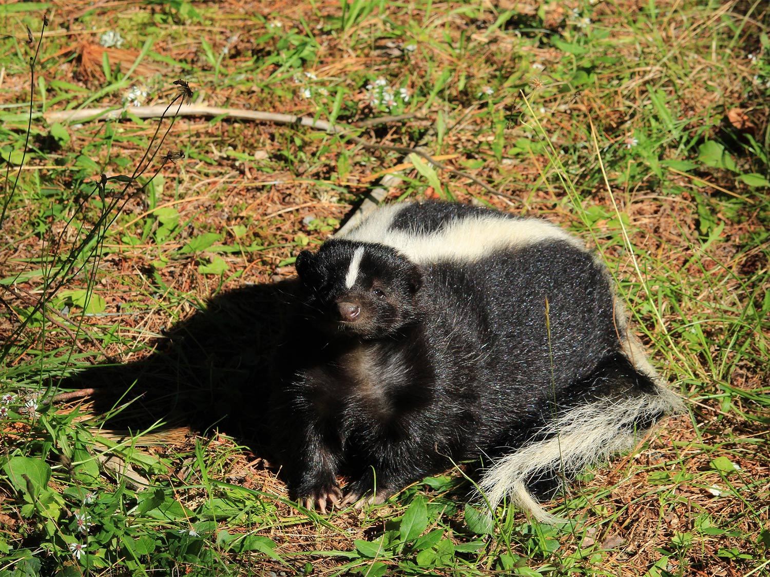 A skunk standing in the grass.