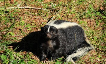 Skunk Vs. Black Bear: Which One Wins in a Standoff?
