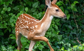 Are Pesticides Harming Deer Fawn Survival?