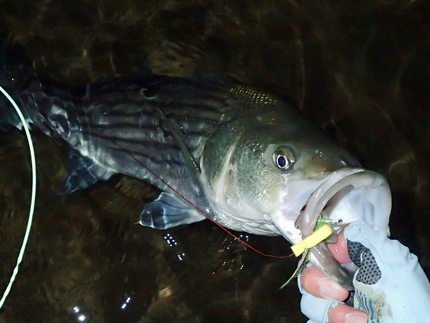 Hand holding a striped bass in the water.