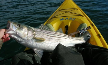 Stripers Forever Calls for 10-Year Ban on Harvesting Striped Bass