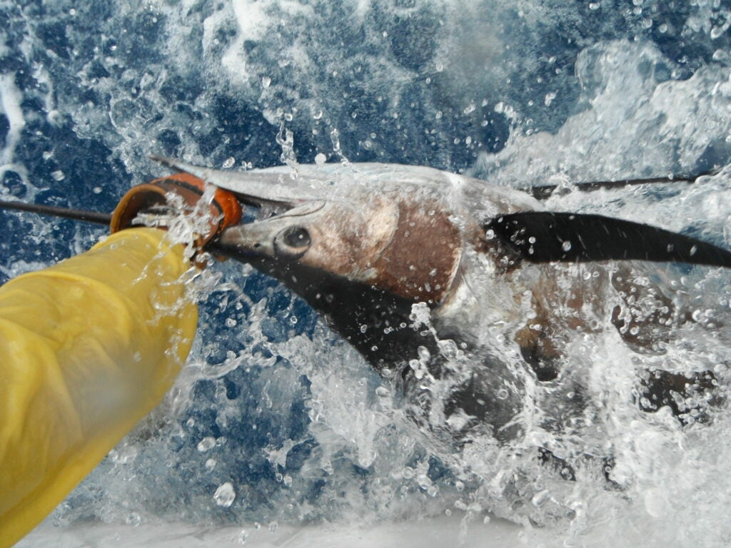 Arm pulling swordfish from the water.