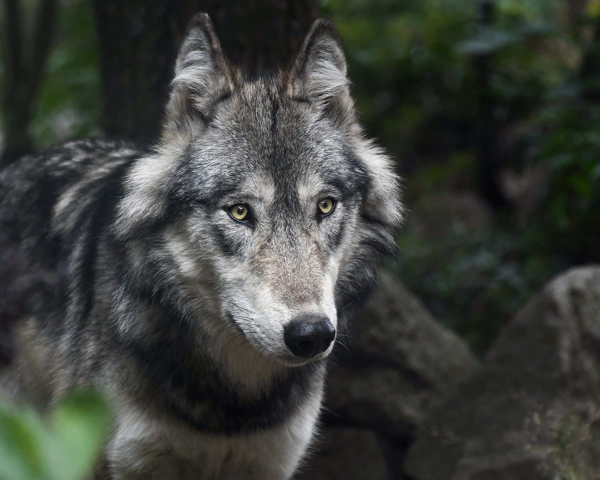 Close up detail of a grey wolf.