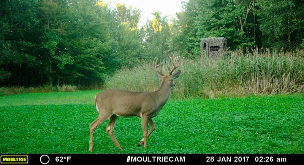 A trail camera photo of a whitetail deer walking in a field.