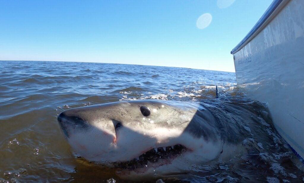 A great white shark swims boatside.