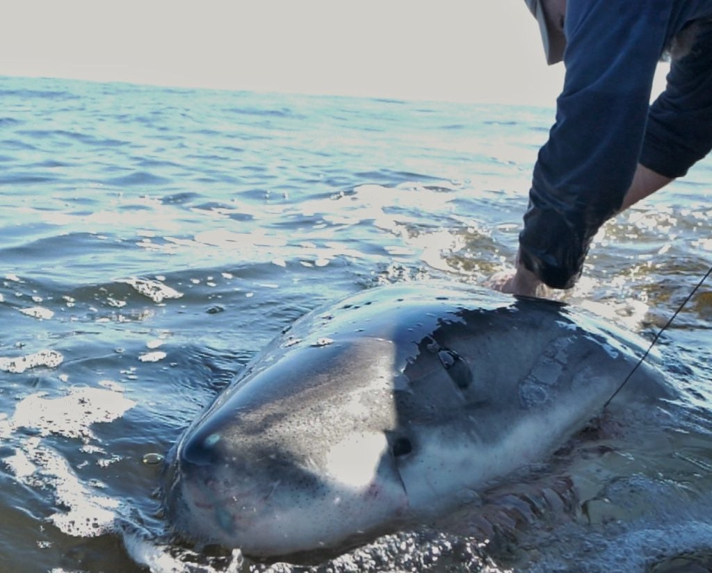 A great white shark being tagged boatside with a telemetry tag.