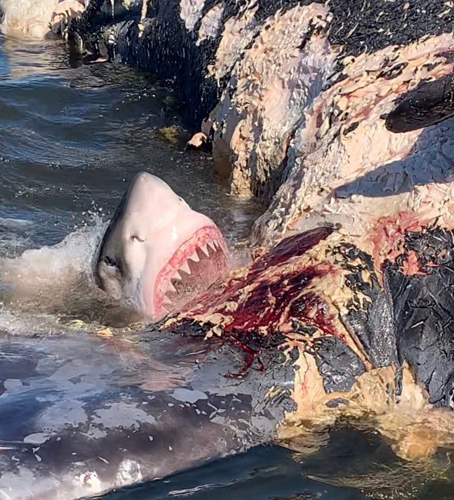 A great white shark furiously bites and feeds on a whale carcass.