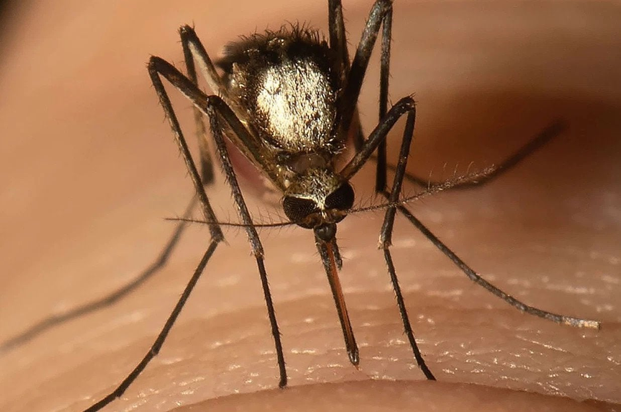 A close up image of a mosquito