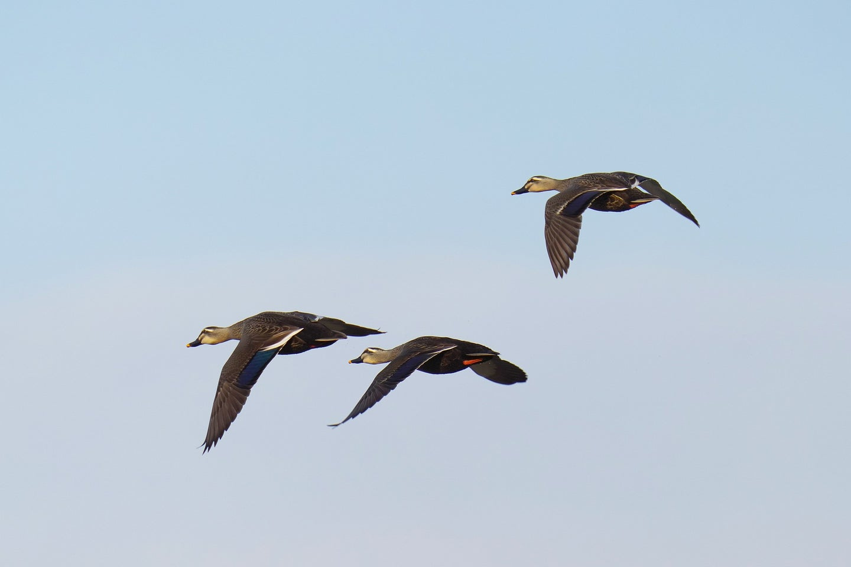 Three ducks flying in formation.