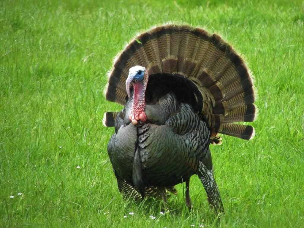 Tom turkey strutting in a green field.