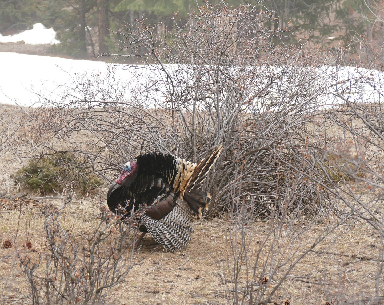 Wild turkey walking through the brush.
