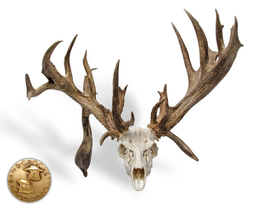 A nontypical whitetail skull on a white background.