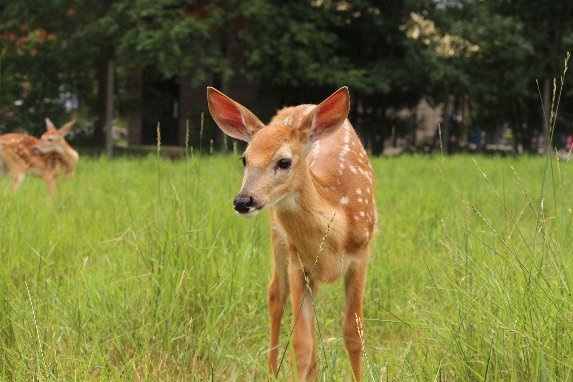 A pair of whitetail fawns.