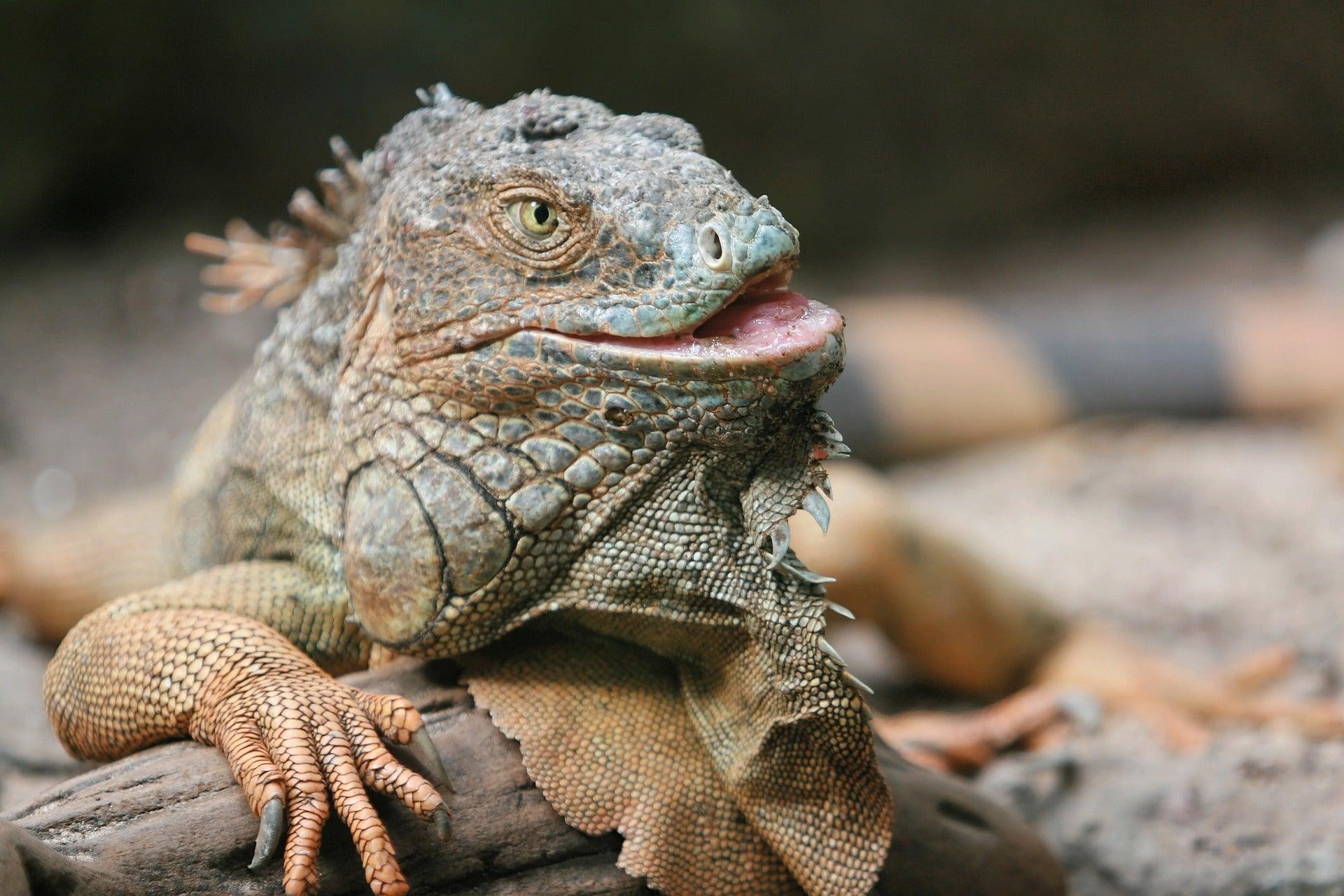 A large iguana on rocks.