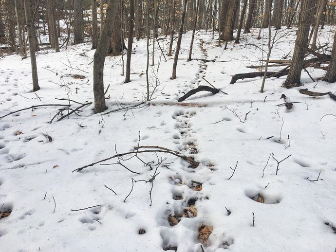 A whitetail deer trail in the snow.