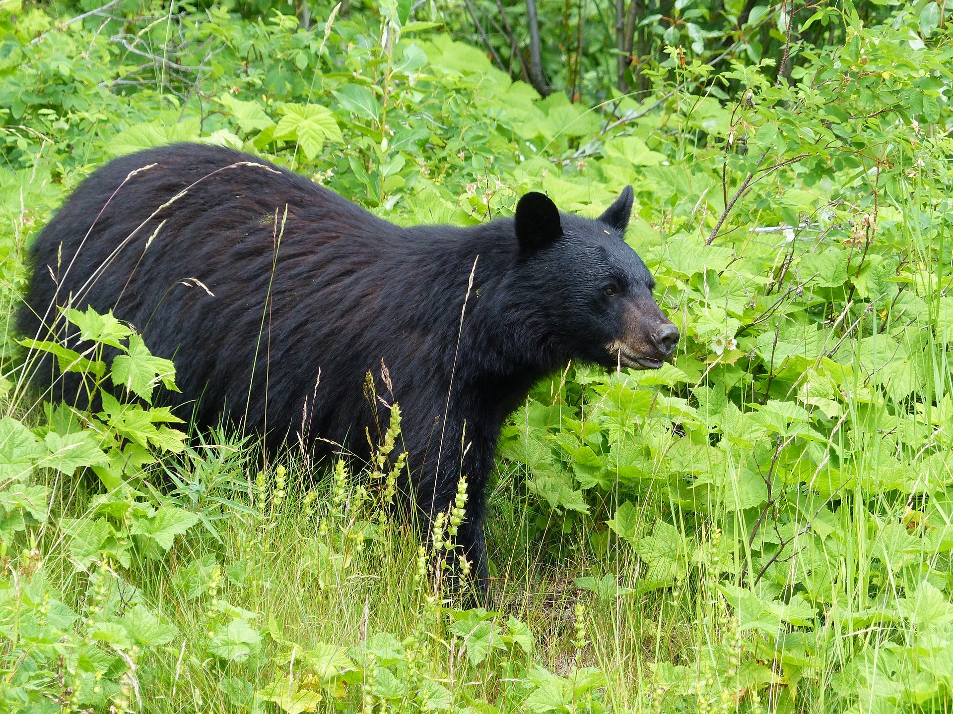 Missouri Approves Its First-Ever Black Bear Hunting Season