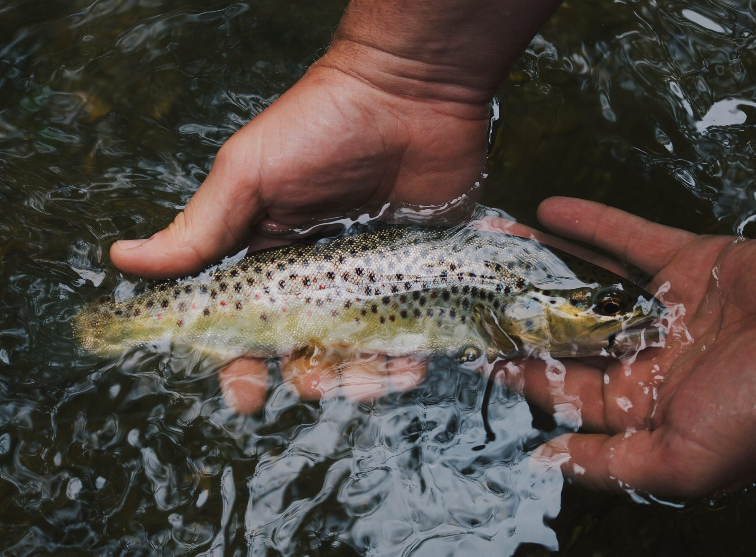 Hands holding trout underwater.