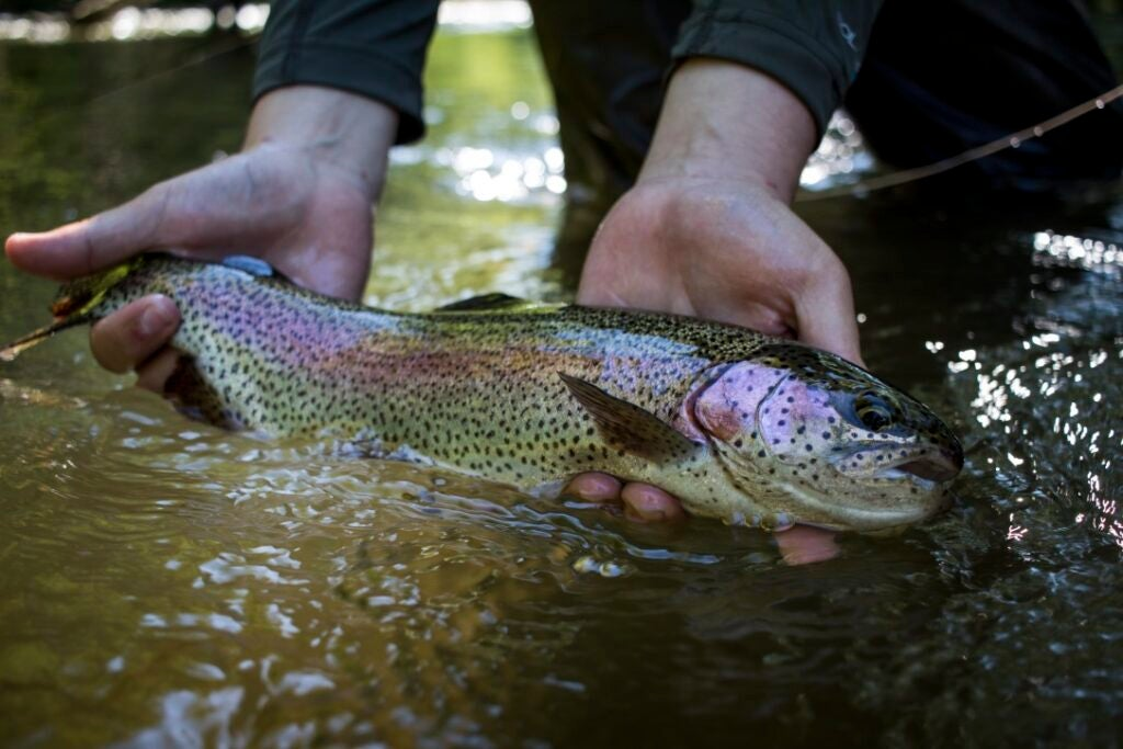 angler-lands-rainbow-trout