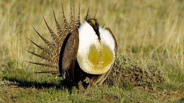 Male sage grouse strutting.