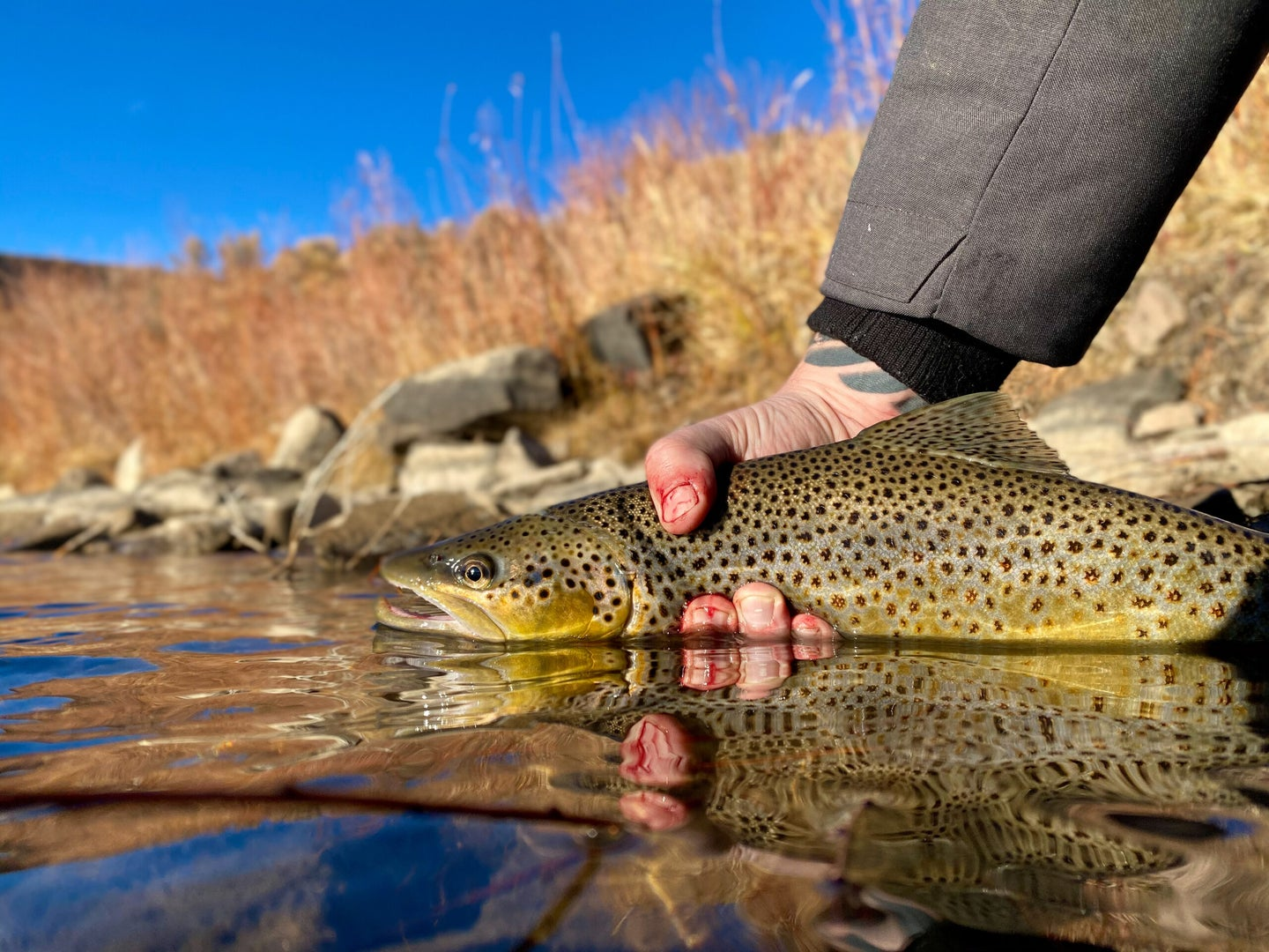 brown-trout-from-colorado-river