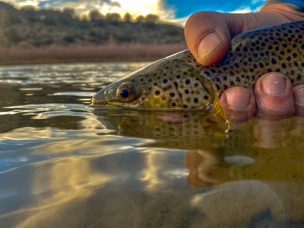 A fisherman releases a brown trout into the Colorado River
