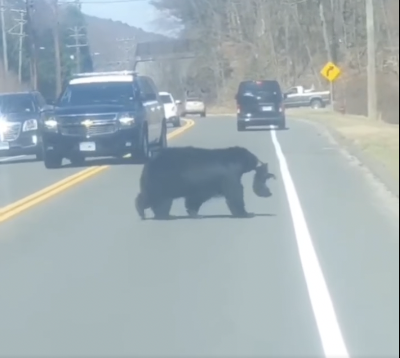 Video: Watch a Black Bear Sow Get Her Cubs off the Streets