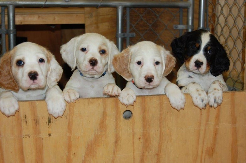 A litter of hunting dog puppies.