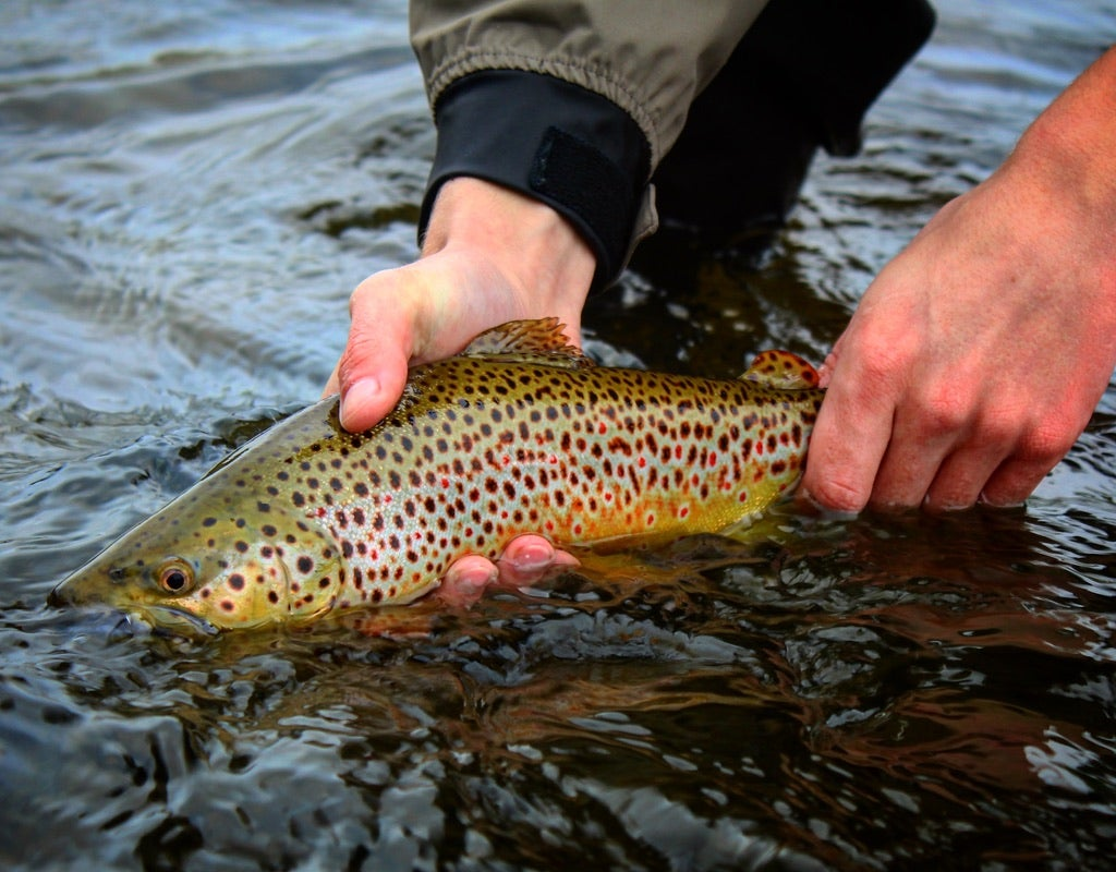 brown-trout-caught-on-a-san-juan-worm
