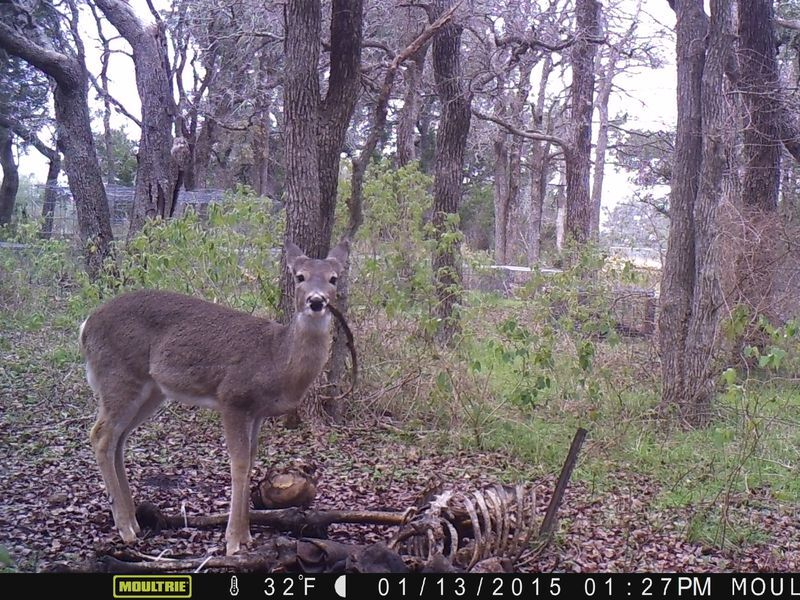 whitetail deer feeds on human remains