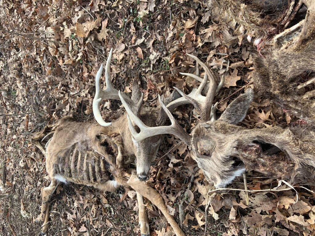 Two locked-up dead-head whitetail deer.