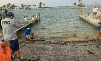 Largest Recorded Smalltooth Sawfish Found Dead in Florida