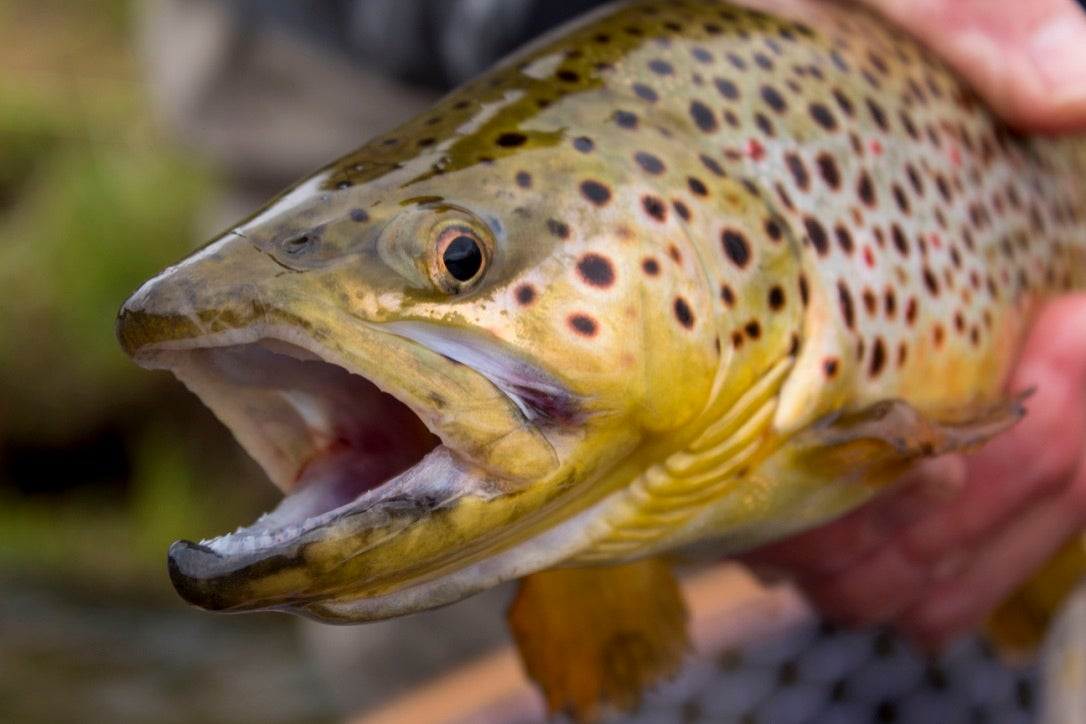 Fisherman catches a nice brown trout on the fly in New York.