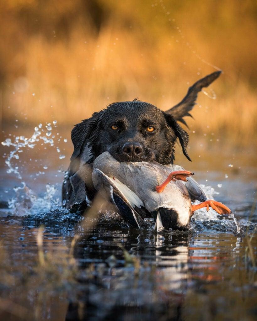 Black lab retrieving a dead duck.