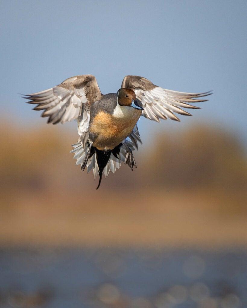 Pintail duck landing.